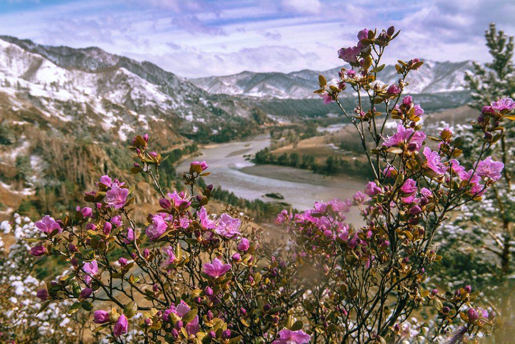 Сибирская сакура — цветение маральника в Алтайских горах