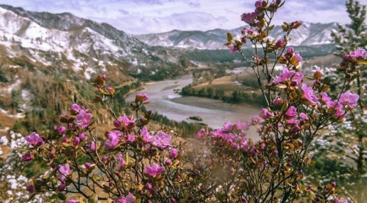 Цветение Алтая — майский тур