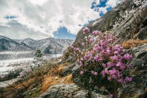 маральник под снегом, конец апреля 2019, Чемальский район, Республика Алтай