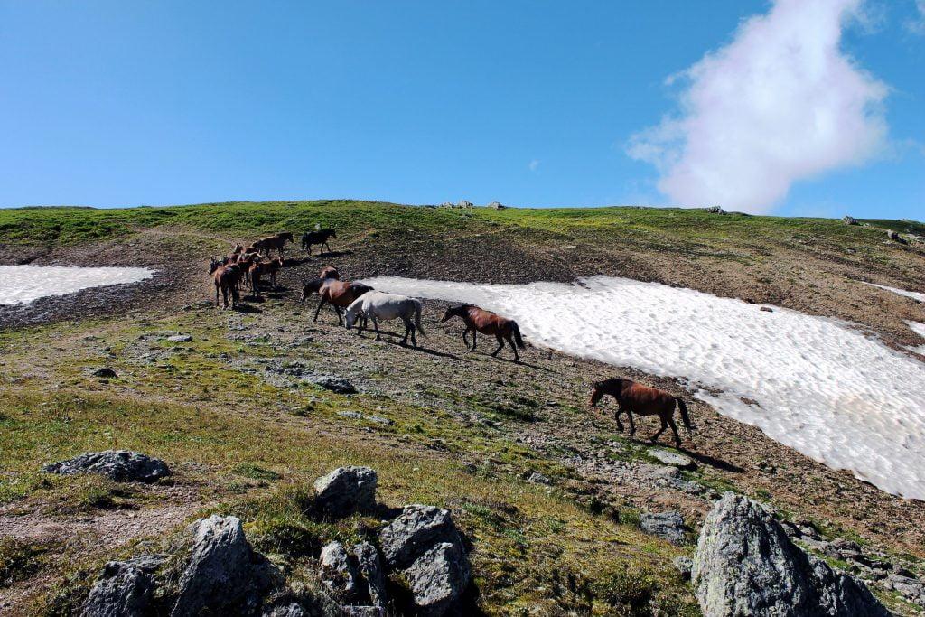 лошади, Уймонская долина